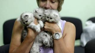 Персидские котята шиншиллы из питомника Домино Меджик