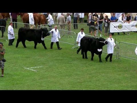 Gwartheg Du Cymreig, Heffer Ifanc   Welsh Black Cattle, Junior Heifer