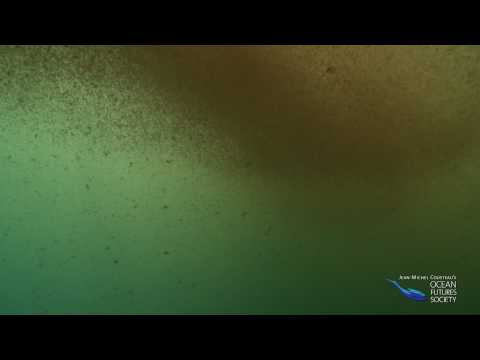 FIRST ever scenes of underwater oil slick, w/ Man o' War and fish filmed 24 miles off Louisiana