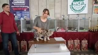 Британский шоколадный серебристый мраморный котик Daddy Bear. Моноподный ринг у Елены Игнатовой