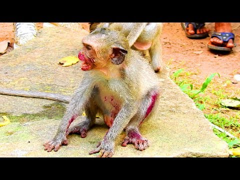 Oh Lord! What's This! Baby Monkey Eating Dragon Fruit, Look Like Seriously Wound!