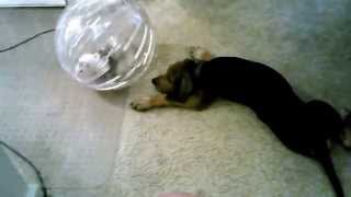 Puppy pushing ferret in exsercise ball.