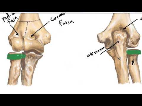 fibrous capsule of elbow joint DR SAMEH GHAZY - YouTube