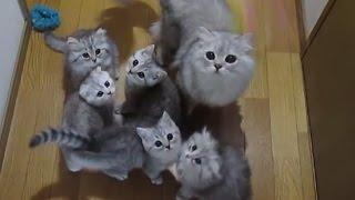 【幸せ子猫】#79「夢中で猫じゃらし!!」 スコティッシュフォールド チンチラシルバー