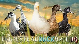 Which DUCK BREED is RIGHT for YOUR HOMESTEAD? | Big Pond Farm, The Hollar