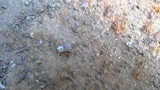 Самка иксодового клеща маленькая(, 2012-05-14T00:44:42.000Z)