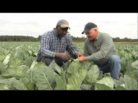 Counting collard pests cuts spraying