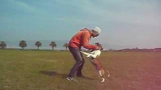 Staffordshire Bull Terrier / スタッフォードシャー ブルテリア.