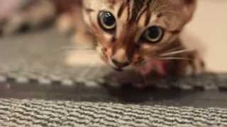 Kisangani Bengal Kittens - Venus and Cupid and the Chicken Wings