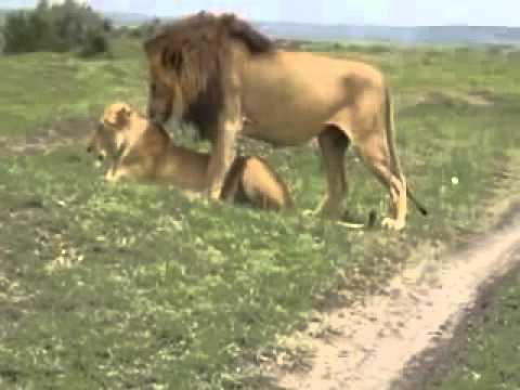 Pareja de leones apareandose youtube - Leones apareamiento ...