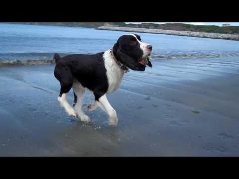 english springer spaniel on the beach