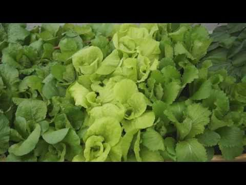 How to grow Chinese Cabbage from seeds (大白菜)