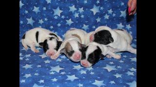 Coton de Tulear Puppies For Sale - China 9/14/21