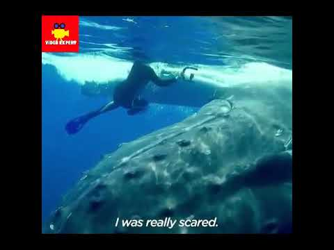 Humpback Whale protect snorkeler from shark attack