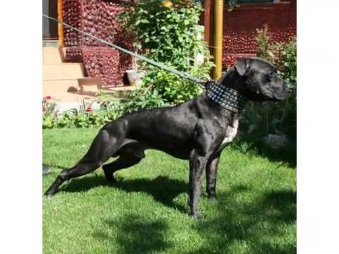 Terrier Dog Breed Types Picture Ideas | American Pit Bull Terrier