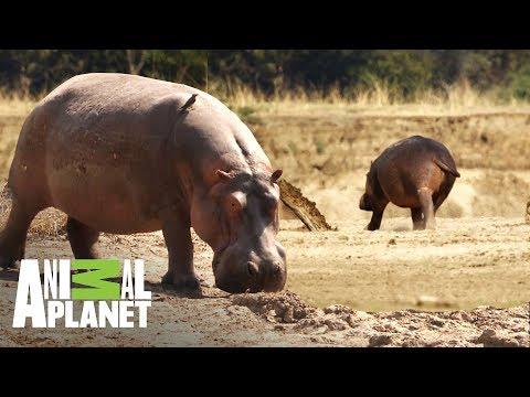 Hipopótamo exiliado busca regresar a su hogar | Ríos de África | Animal Planet