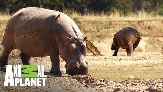 Hipopótamo exiliado busca regresar a su hogar   Ríos de África   Animal Planet