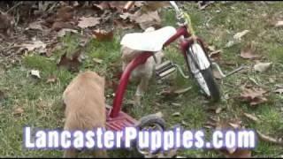 Mini Irish Poo Puppies! (irish Setter / Mini Poodle Cross)