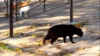 Только чёрному коту и не везёт ...