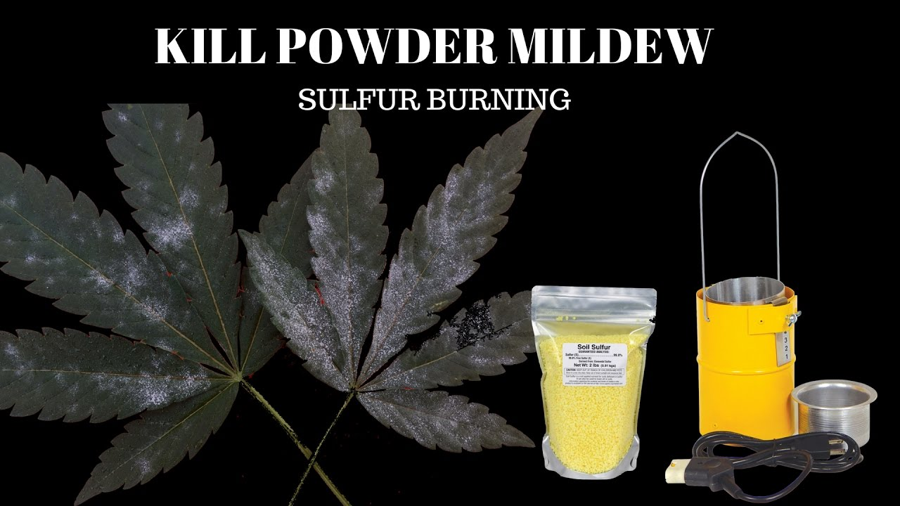 KILL POWDERY MILDEW ON CANNABIS PLANTS AND GROW AREA | USING A SULFUR BURNER