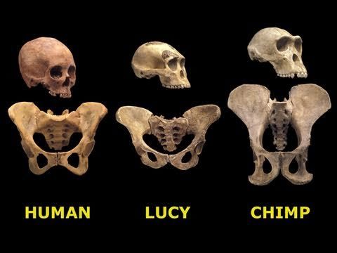 an analysis of the archaeological discovery of australopithecus afarensis lucy Researchers on wednesday announced the results of an intensive analysis of the 318 million-year-old fossils of lucy, a member of a species early in the human evolutionary lineage known as .