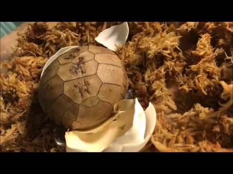 Elongated Tortoise Hatching from Egg (time lapse)