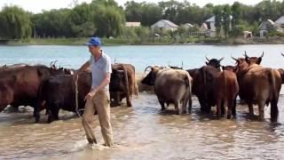 МУМУшки! Это живые коровы!