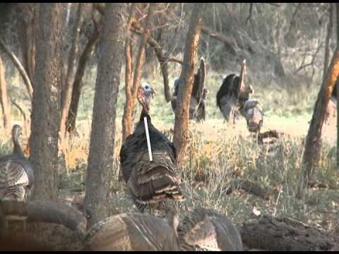 Primos  Archery Shot Placement On Turkeys