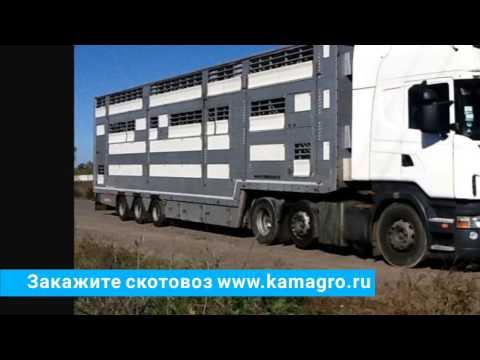 Перевозка крупно рогатого скота, услуги скотовоза. +7 965-617-60-05 WhatsApp