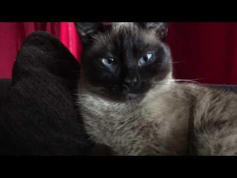 Cute Purring Siamese Cat