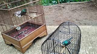 Download Video kolibri muncang gacor pikat MP3 3GP MP4