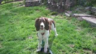English Springer Spaniel: Maessr Presents Harley Xii - First Day