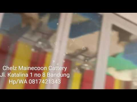 maine-coon-cattery-bandung-indonesia
