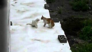 自宅マンション裏でのネコの喧嘩です。 白ネコは前からいたのですが、新...