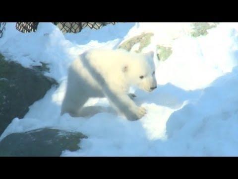 Gấu Bắc cực con ra mắt công chúng