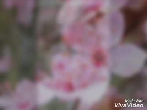 62+ Gambar Animasi Bunga Sakura Berguguran Terbaik