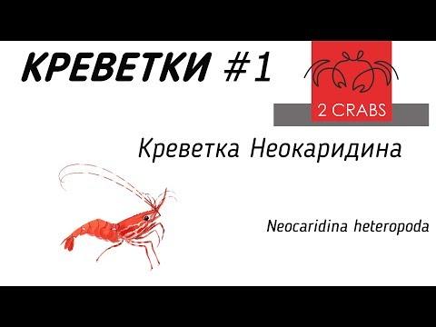Креветки #1. Креветка Неокаридина. Neocaridina Heteropoda.