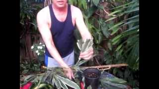 How to propagate a Dracaena from cuttings.