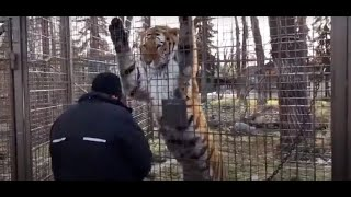 Tiger jumping for food