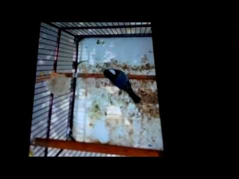 Burung gelatik batu,,raja kacor part 1