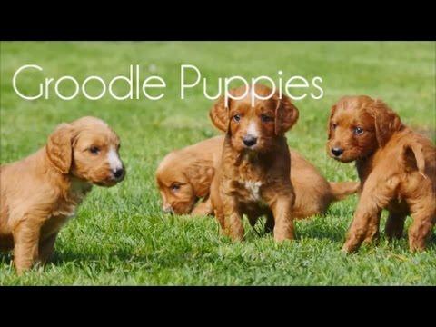 Groodle puppies 5 week old