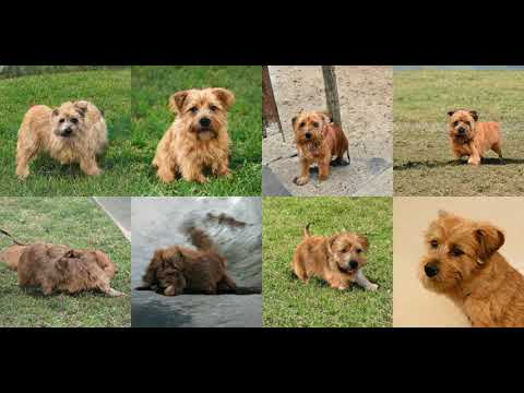 Generating Norfolk Terrier with Deep Learning