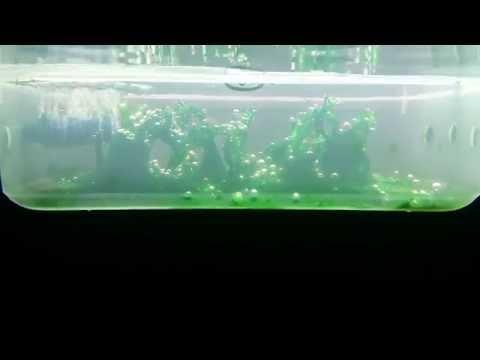 Algae scrubber filter freshwater
