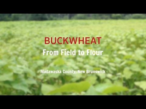 Producing Buckwheat Flour at Jamie Corriveau's Mill and Farm