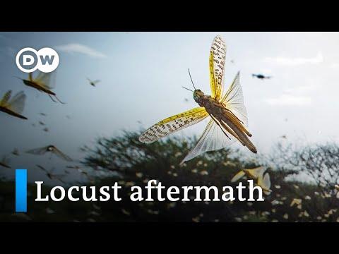 Desert locusts in