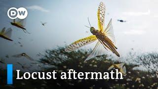 Desert locusts in Kenya leave ravaged crops in their wake | DW News