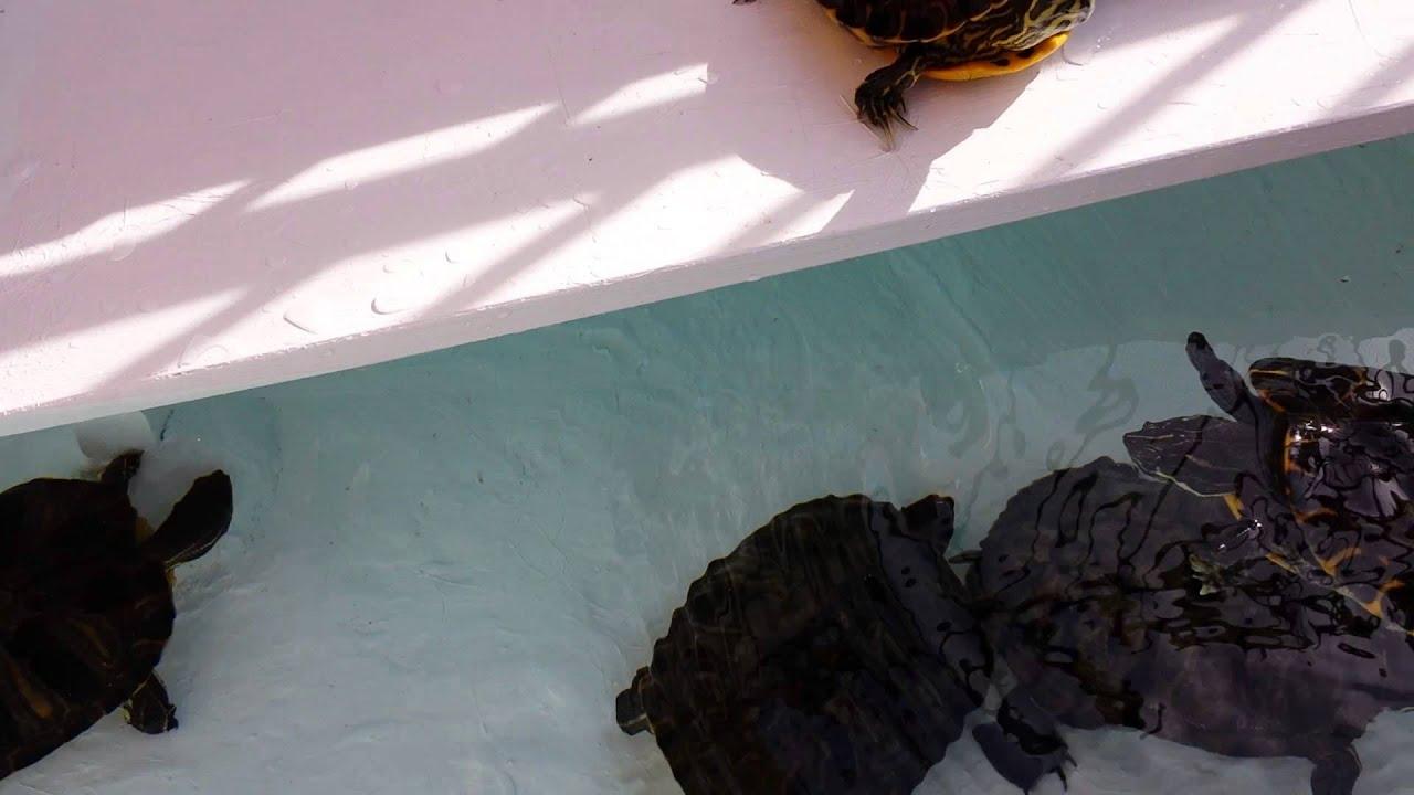 Terrario per tartarughe acqua dolce chioggia youtube for Alimentazione tartarughe acqua dolce