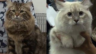 СИБИРСКИЕ КОШКИ -ГОРДОСТЬ РОССИИ! / SIBERIAN CATS AS A PRIDE OF RUSSIA - Cats&DogsTV, Mirkoshek