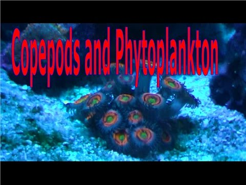 Copepods and phytoplankton