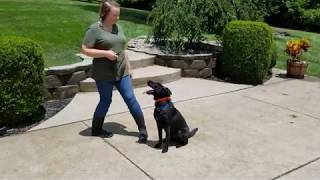 K9 Unleashed, Holly, Family Protection Dog